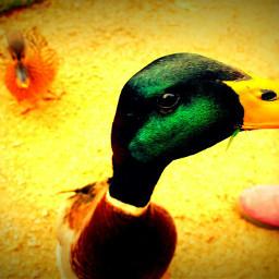 duck animals animallove greenhead