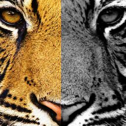 FreeToEdit tiger beauty tigre color black