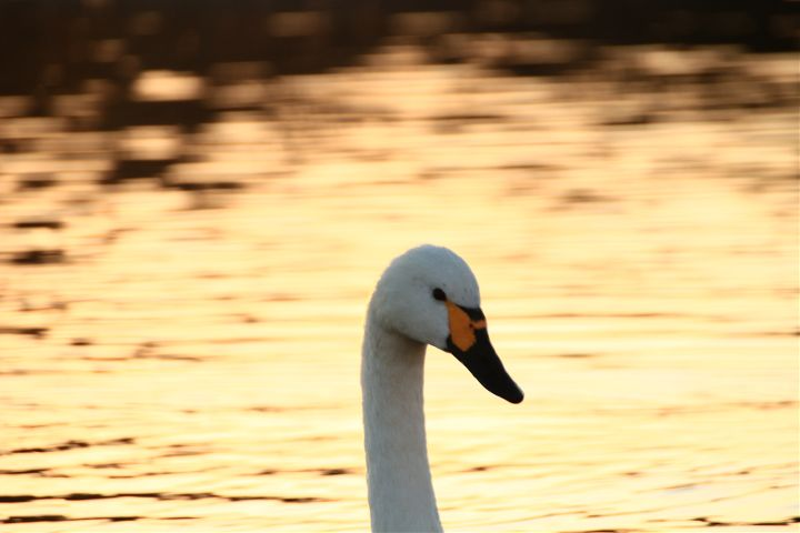 japan nature photography swan bird freetoedit