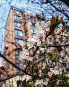 cherryblossom beautifulflowers beautifulnature macro spring
