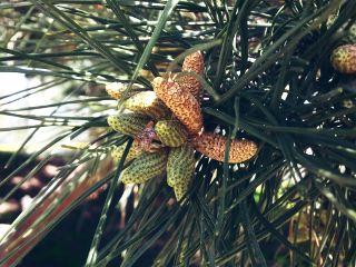 tree pinetree travel