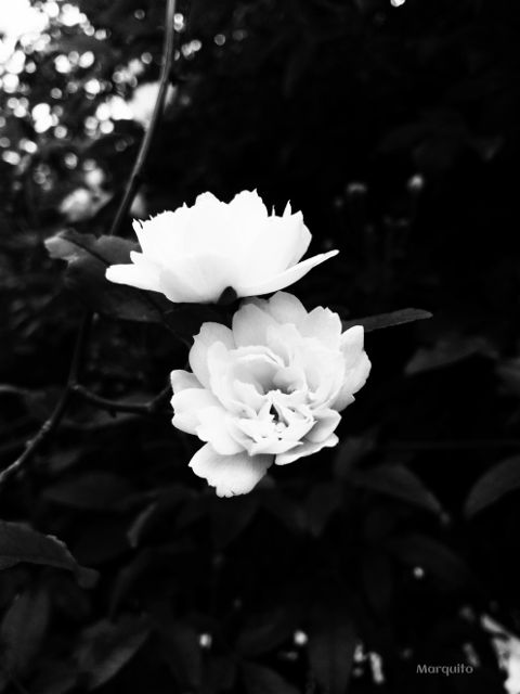 blackandwhite black flower quotesandsayings