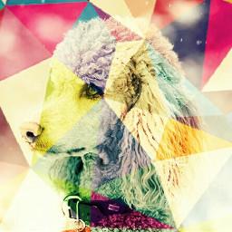 freetoedit adobephotoshop dog poodle color
