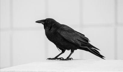dpcwingedthings blackbird crow blackandwhite freetoedit